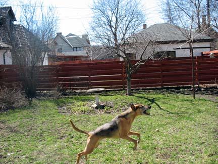 coonhound leaps!